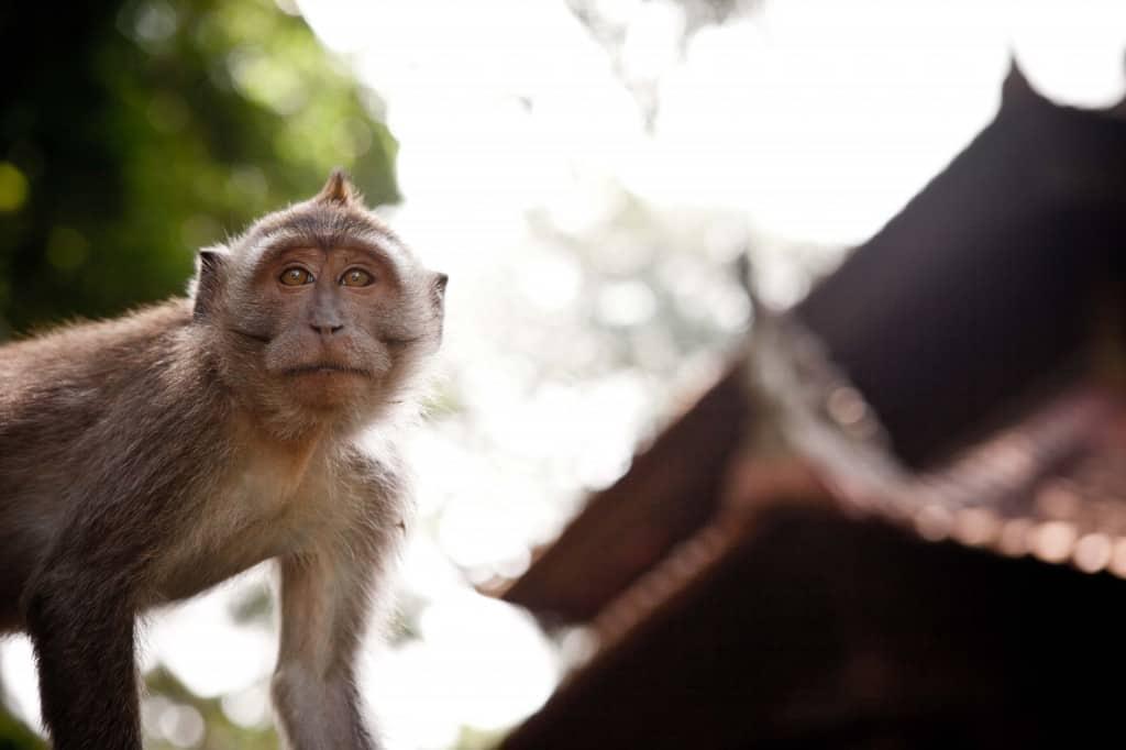 Sangeh Secret Monkey Forest Sanctuary, Bali, Ubud