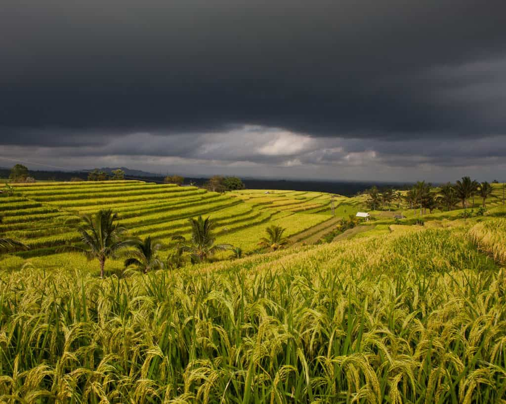 rice paddies of Bali in 5 day itinerary