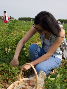 getting down and dirty to pick strawberries from the field at whittamore's farm