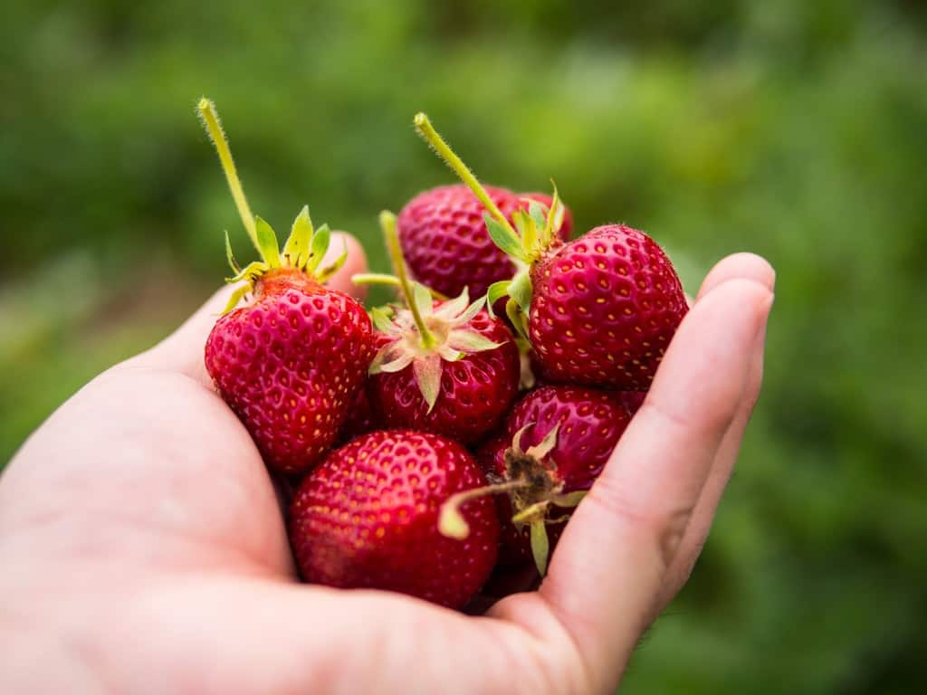 freshly picked strawberries north of toronto at whittamore's farm