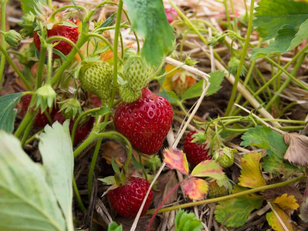 close up of red and green strawberries in things to do in toronto at whittamore's farm