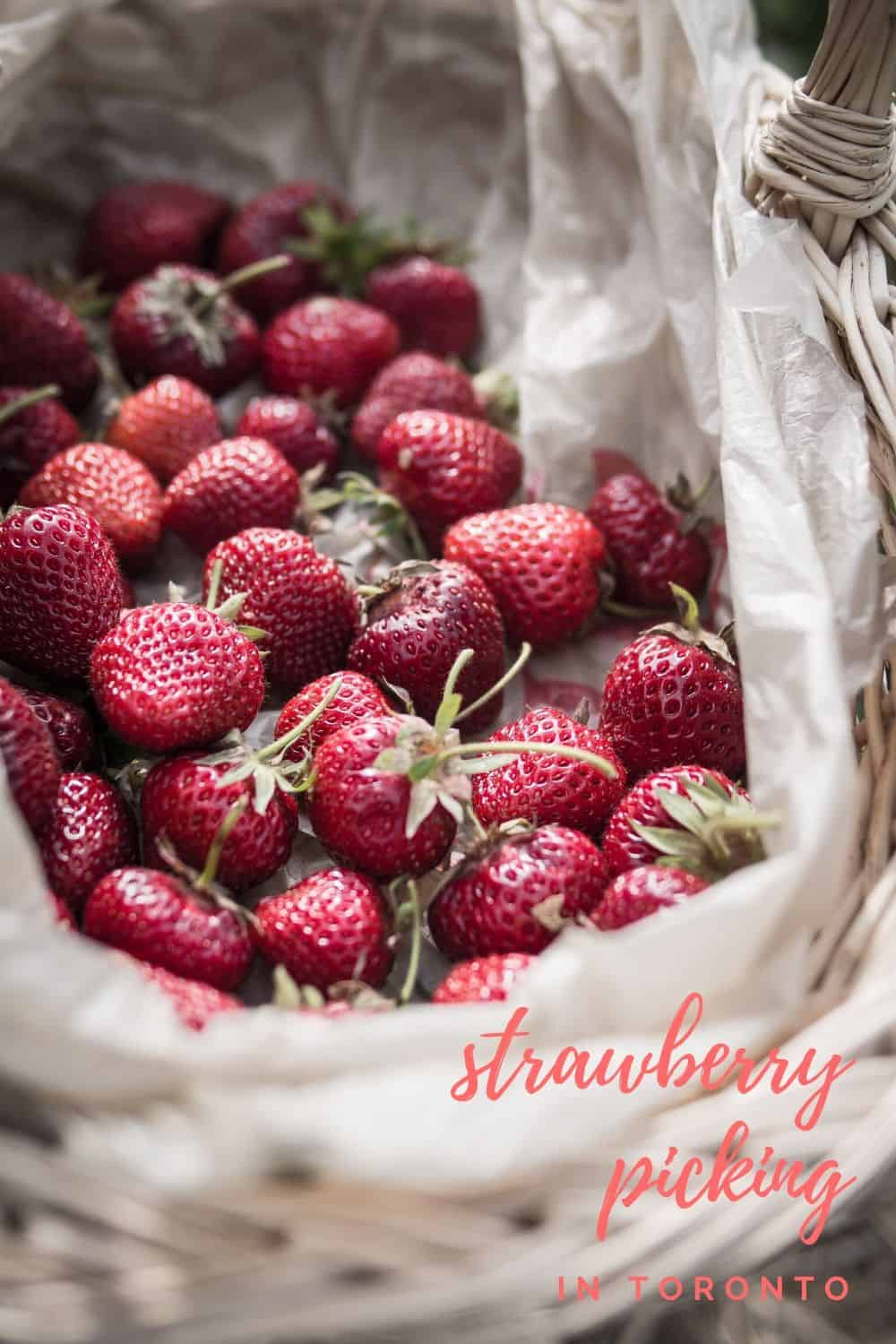 Strawberry Picking in Toronto - The perfect weekend activity in the summer