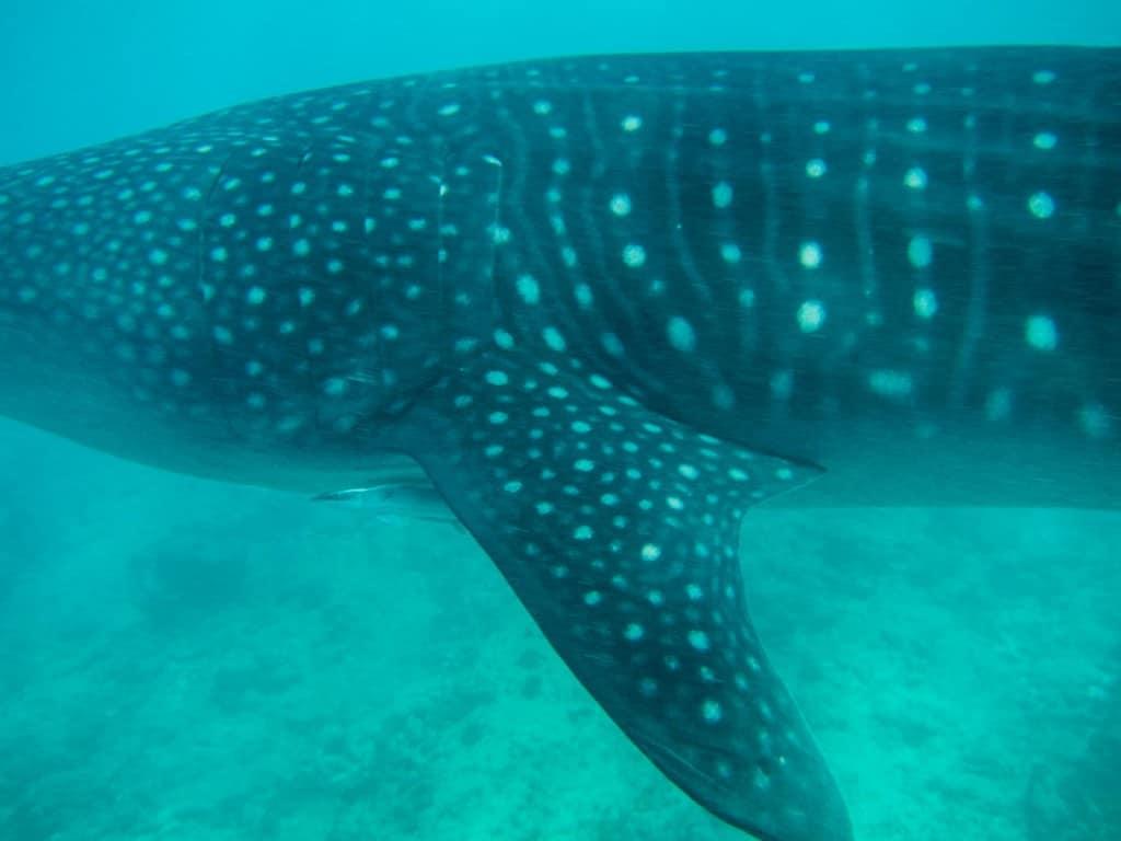 Whale shark spot patterns up close.