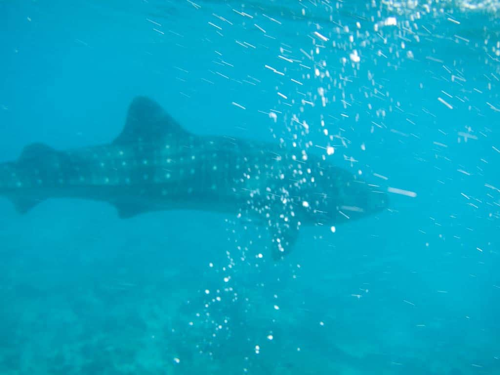 2014-03-26 Whaleshark-003