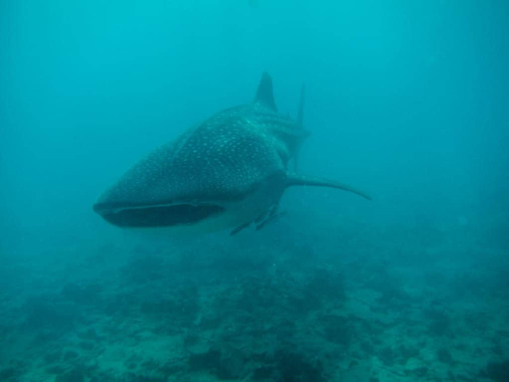 Conrad Maldives – Snorkelling with Whale Sharks