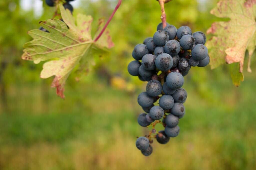 grapes on a vine along the niagara wine trail