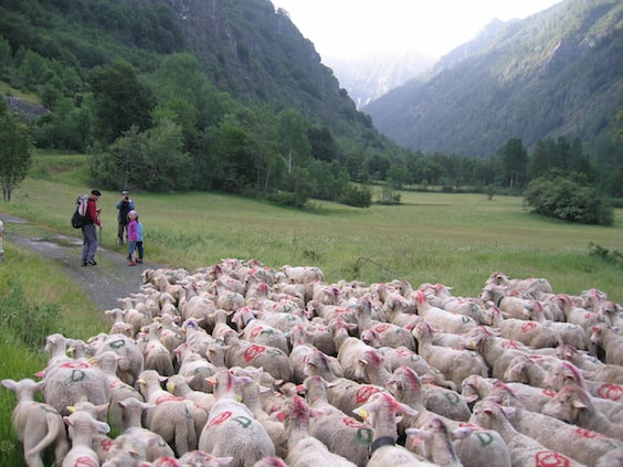 culture sheep