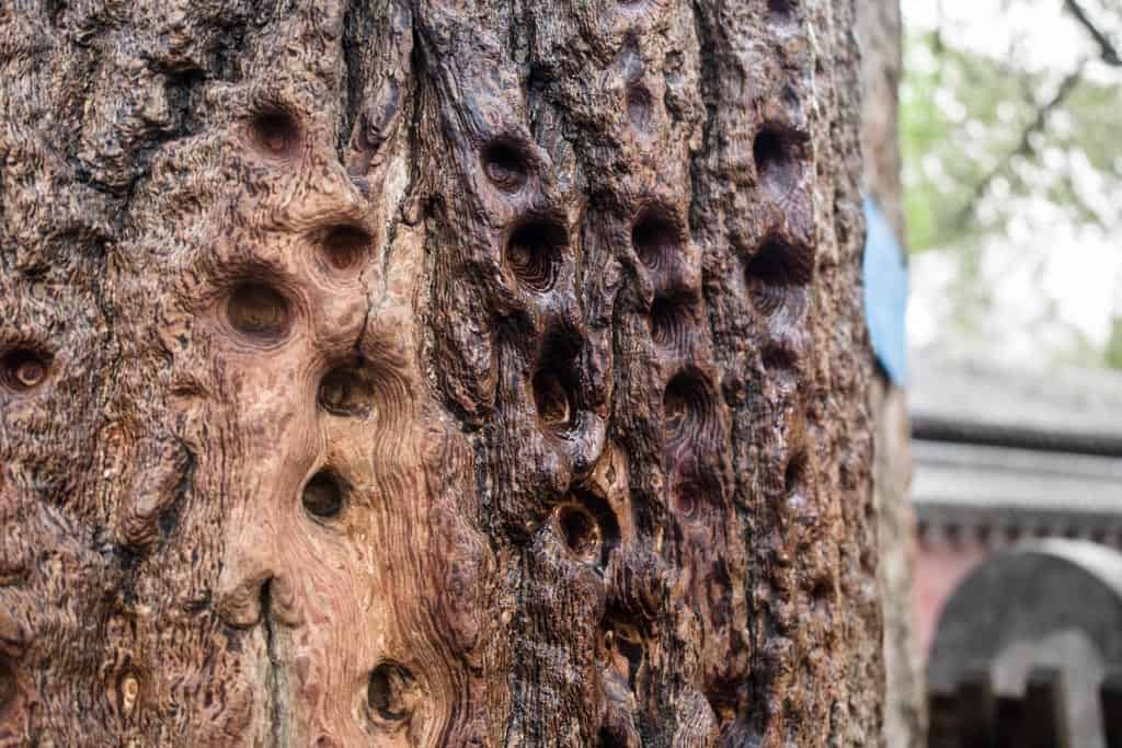 Yes this is a tree but no those holes aren't natural.  Kung fu students actually trained their single or two finger strikes on these trees back in the day and that's what caused the indents you're seeing.