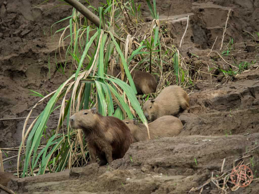 capybara sighting with rainforest expeditions enroute to refugio amazonas in peru