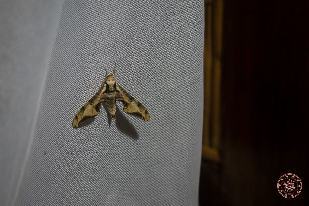 Huge Moth In Our Suite