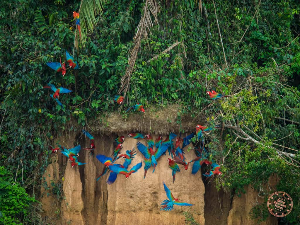 Clay licks are the biggest draw here in this part of the Amazon. Every morning, huge congregations of macaw parrots come to feed on these nutrient rich clay cliffs.
