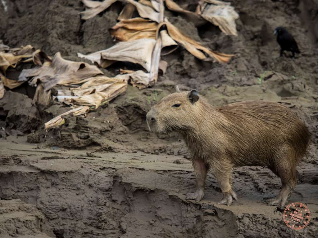This capybara was the most interesting sighting of the day - largest rodent in the world.