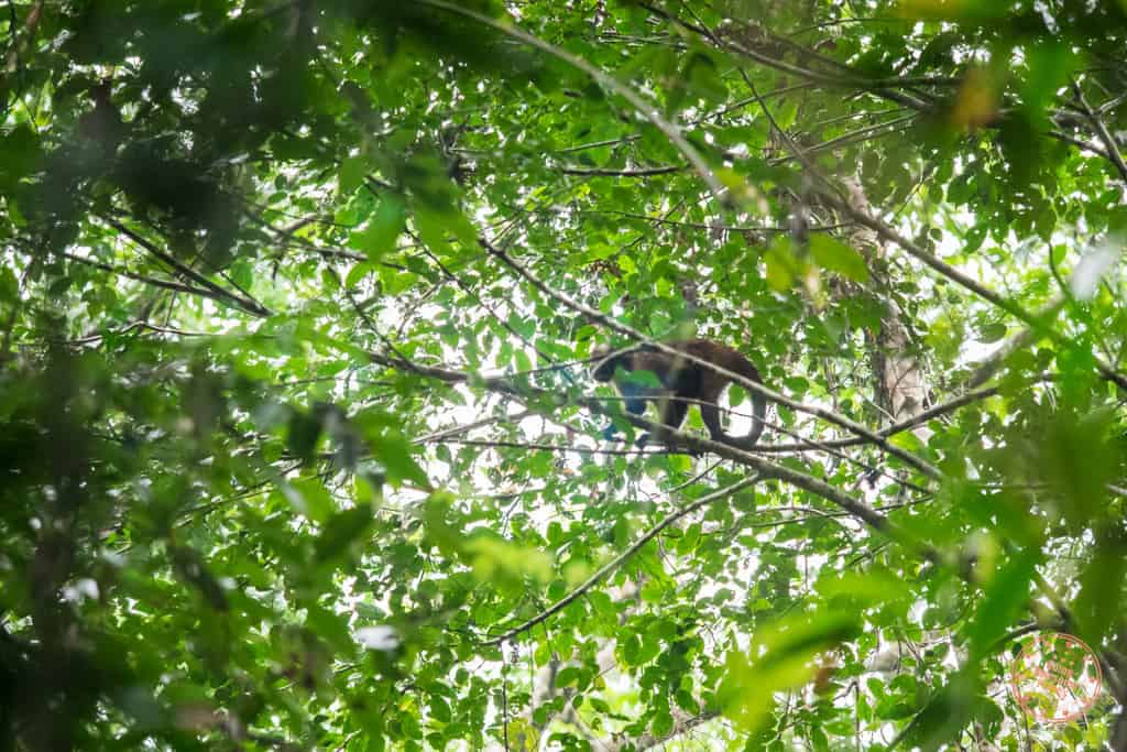 Our first monkey sighting. This I believe was a Cappuccino Monkey?