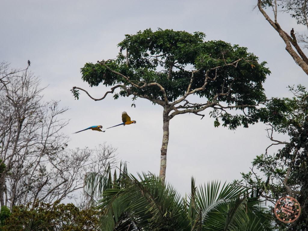 Macaw parrots in flight