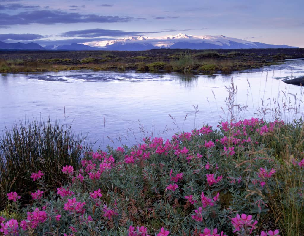 wild flowers and ice capped mountains of skaftafell in iceland 6 day itinerary