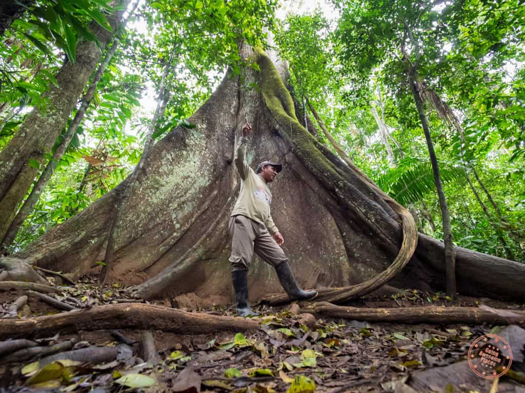 Our guide, Paul, showing us the massive trees of the jungle - The Kapok Tree.