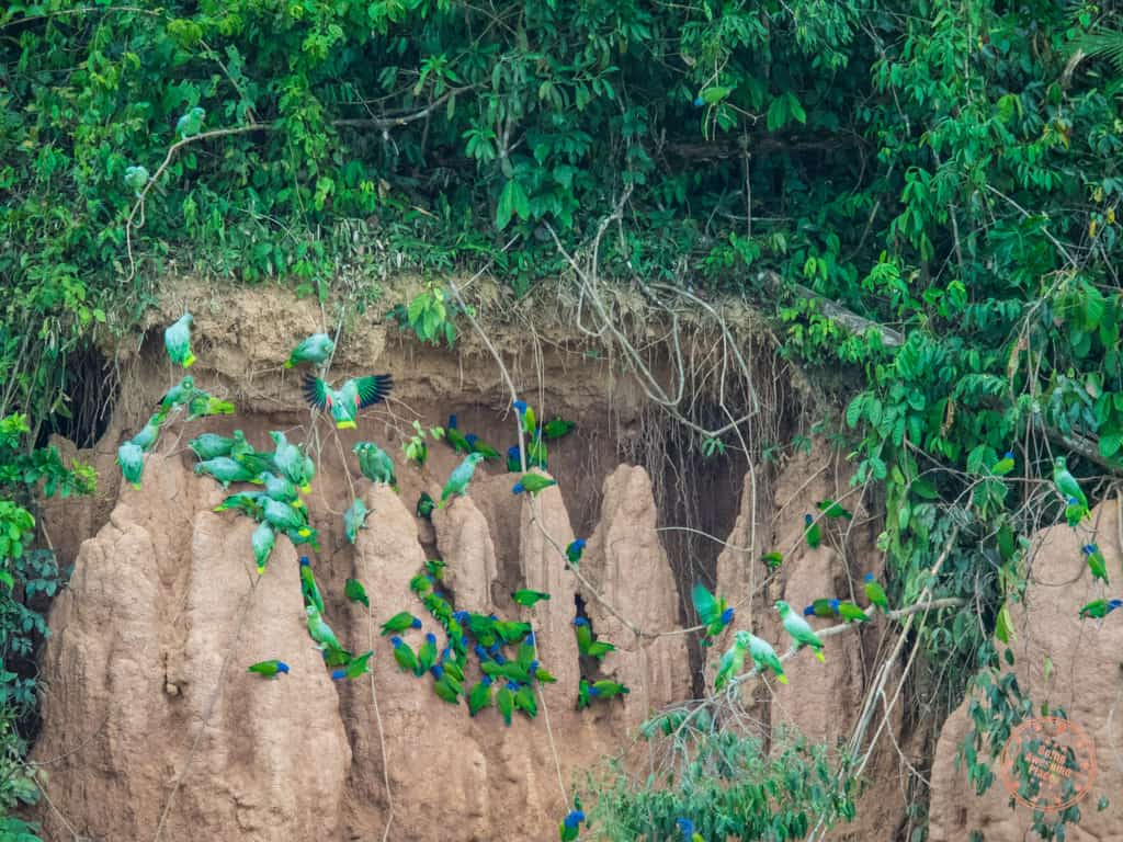 The smaller parrots start their morning feast first, pecking away at the clay. Huge flocks would land at once and when spooked, they'd fly away in an explosive burst.