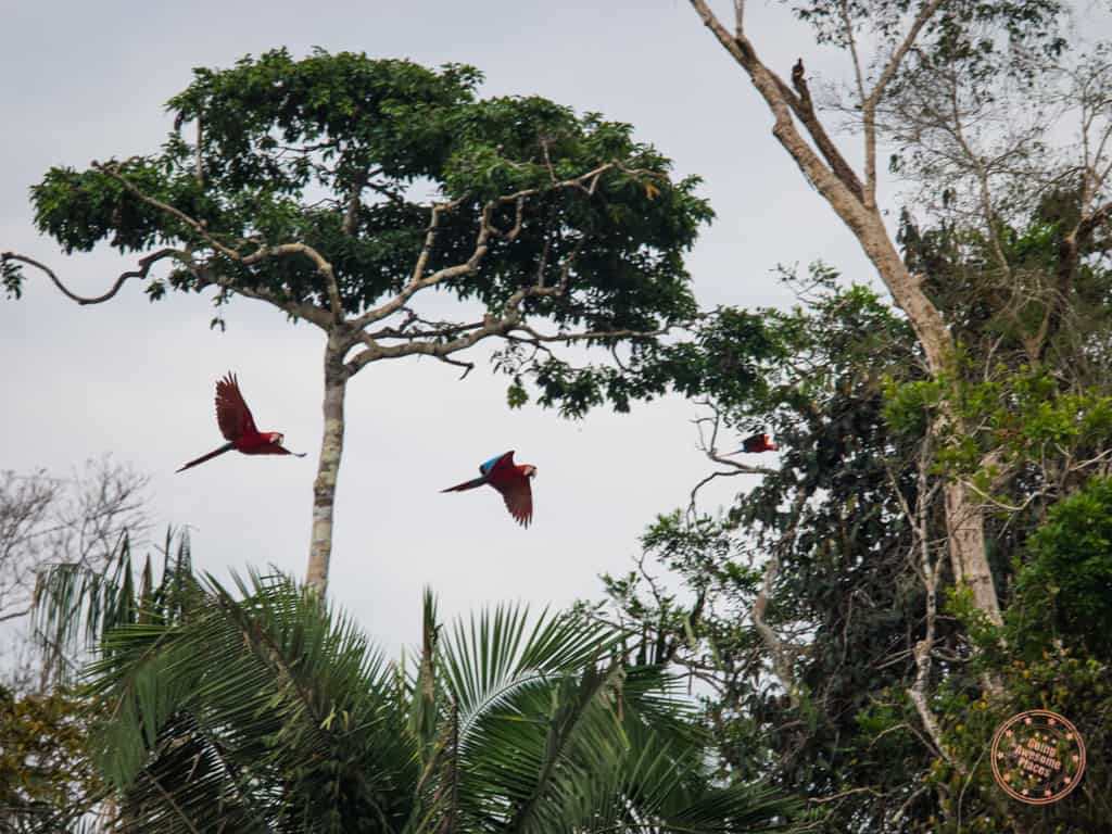 Such majestic and vividly coloured macaw parrots. Amazing to watch in flight.