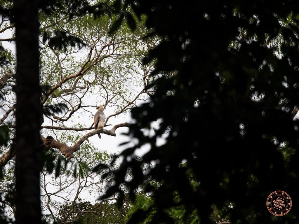 The biggest sighting was actually in the trees that afternoon. The guides were incredibly excited to spot this Harpy Eagle