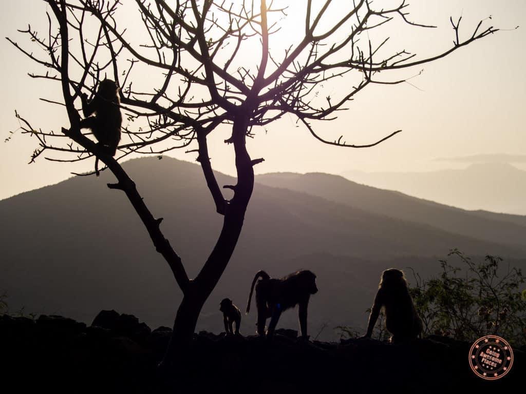 Family of Monkeys Crossing