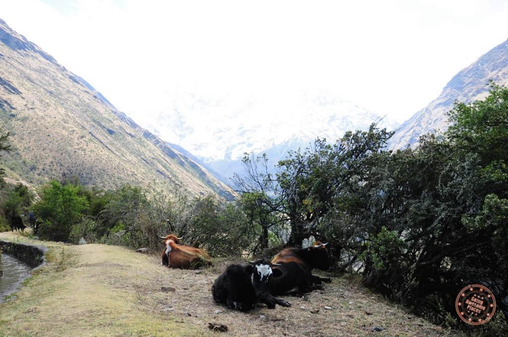 Salkantay cows sitting down