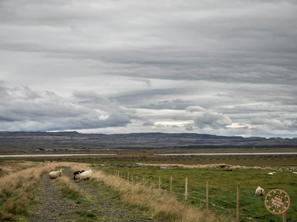 sheep running wild on farm land seen from iceland