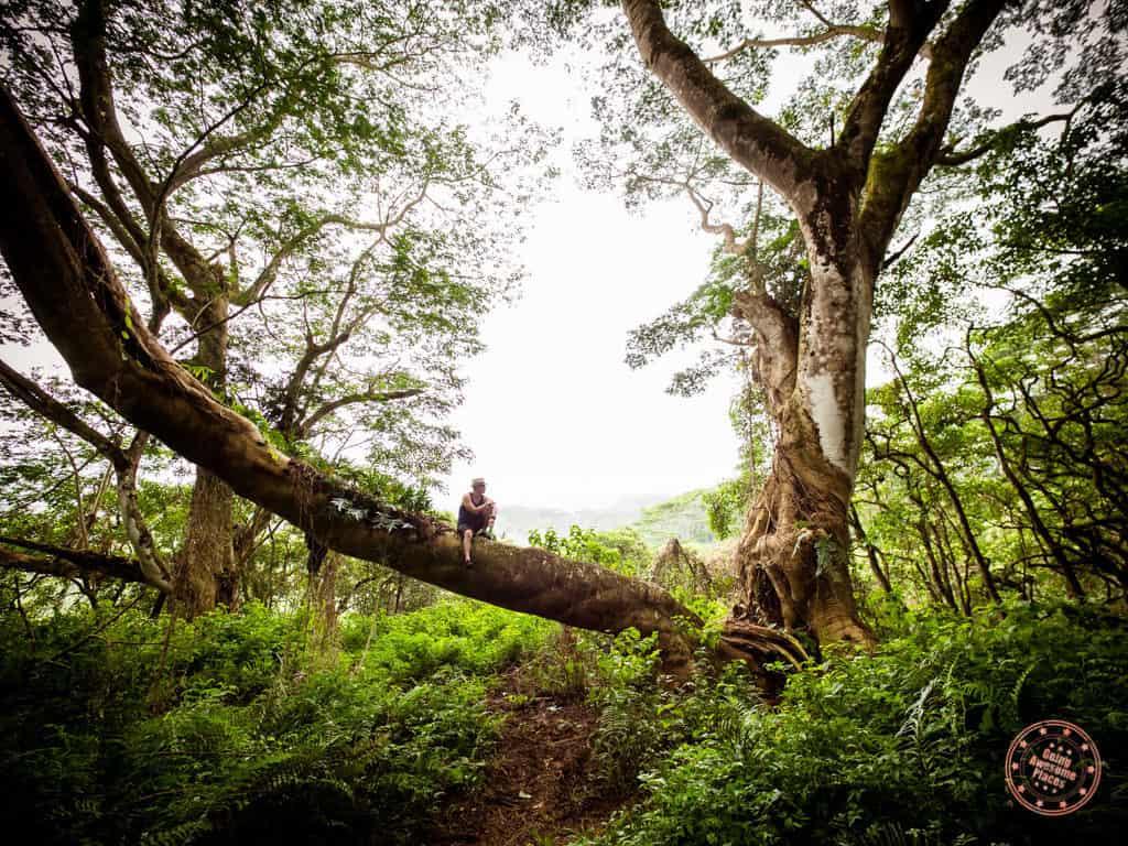 Kuilau Trail Large Tree