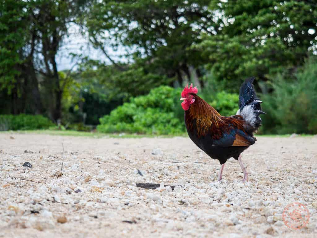Kauai rooster on the beach