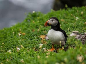 Cute Puffins on Skellig Michael