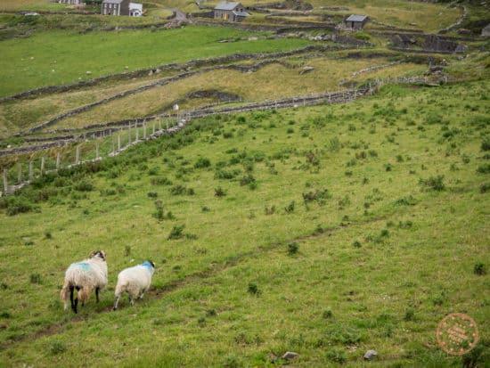 Sheep Along Slea Head Drive in Dingle