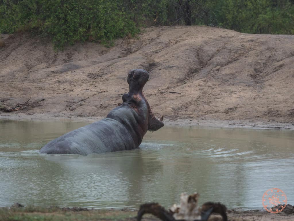 what its like to safari in south africa - hippopotamus mouth wide open at elephant plains game drive
