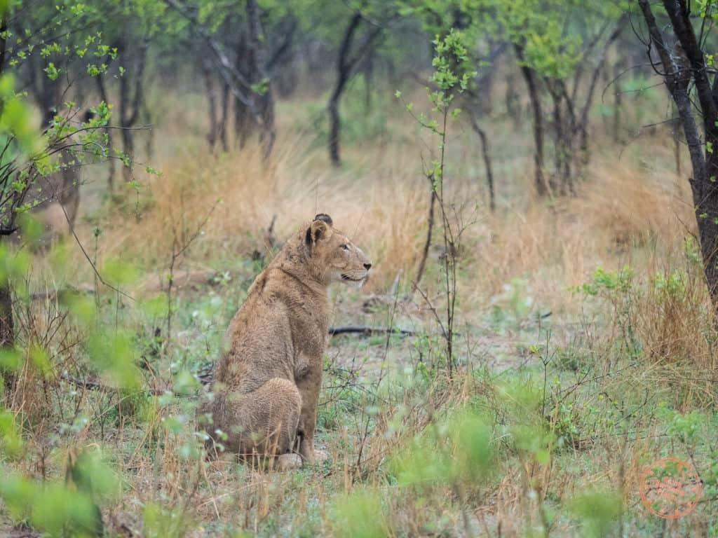 Female Lion Hunting at Elephant Plains