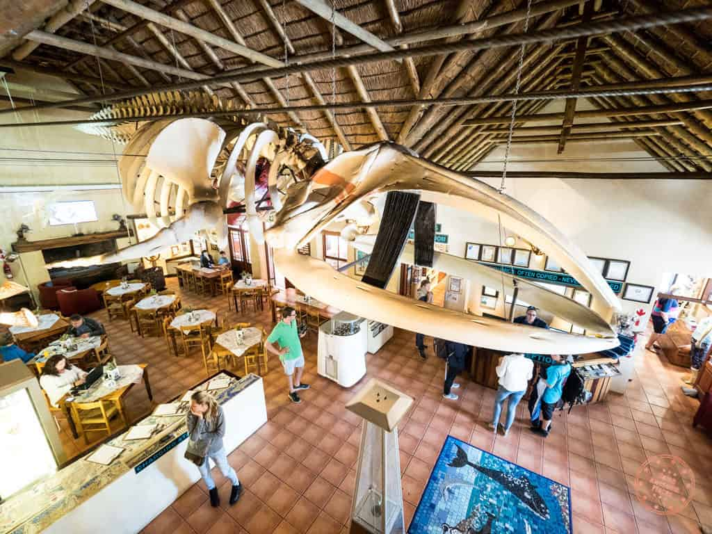 giant whale skeleton in great white house inside marine dynamics hq in gaansbai shark diving experience