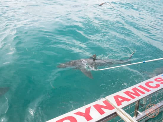 dangers of cage diving in south africa in the world nomads travel insurance review