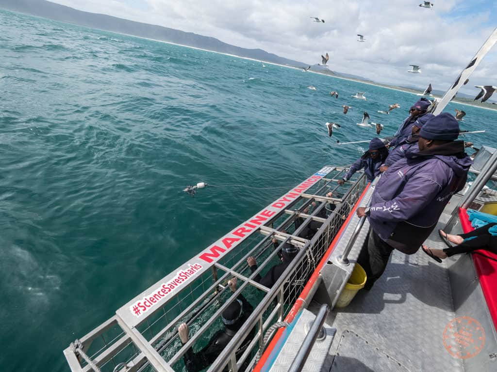 shark cage diving with marine dynamics in gaansbai near cape town south africa