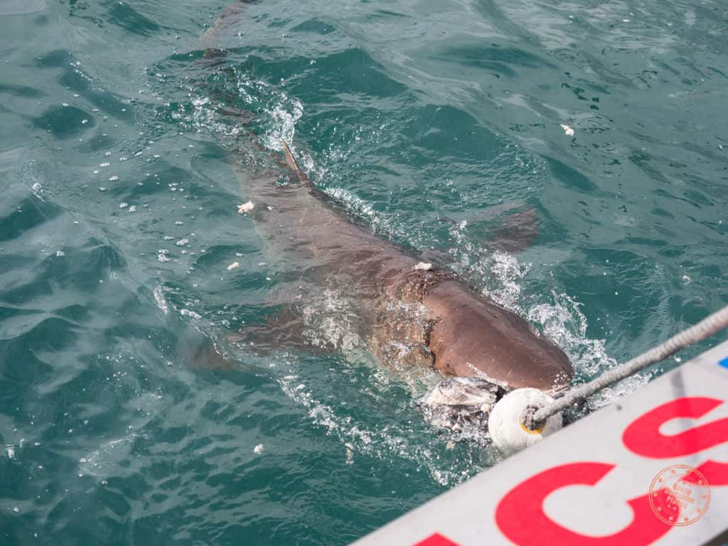 Copper shark chasing after bait with divers in the cage