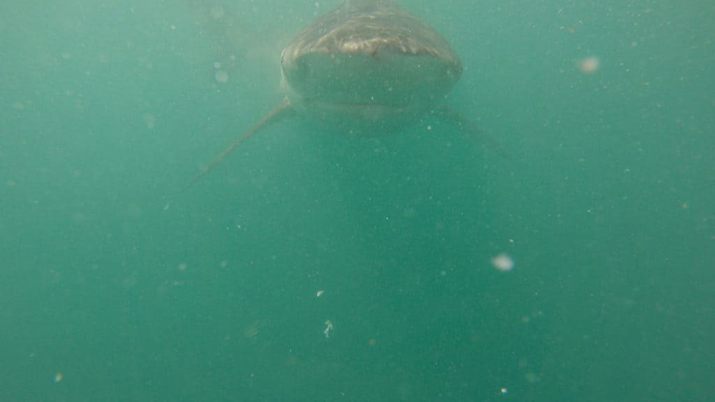close encounter with copper sharks while shark cage diving in gaansbai south africa with marine dynamics