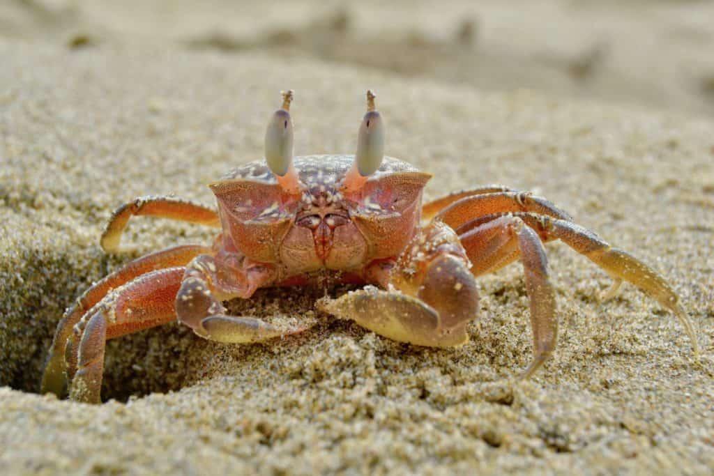 Crab in Isla de la Plata