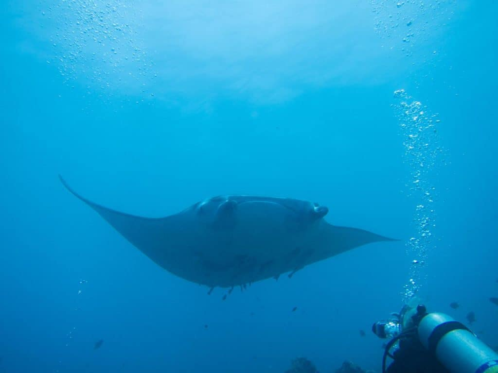 diving with manta rays in the maldives and where to buy the best travel insurance