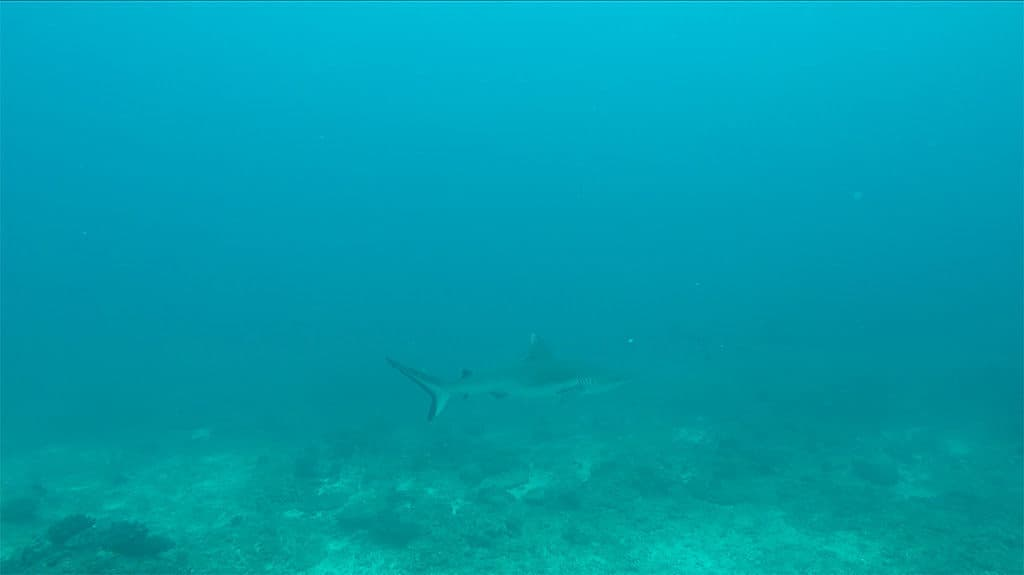 Surrounded by at least 15 sharks in Seychelles