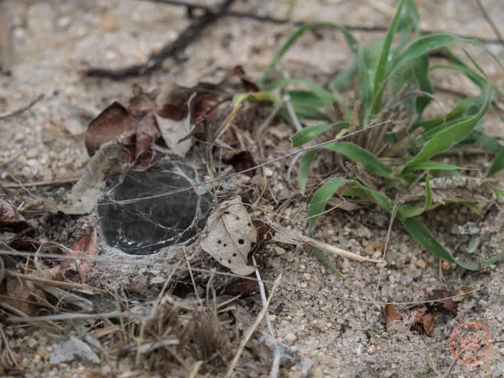 Baboon Spider During Bushwalk