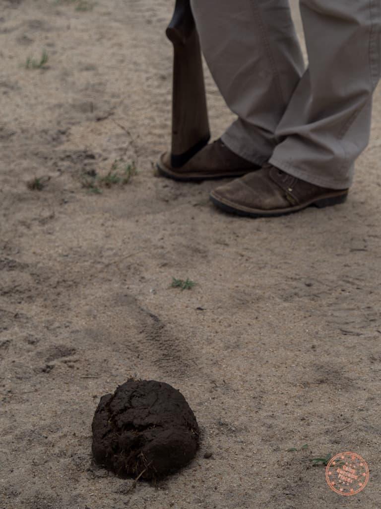 fresh elephant dung during bushwalk
