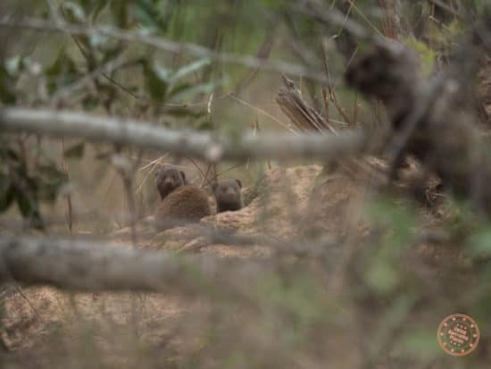 mongoose popping up during bushwalk