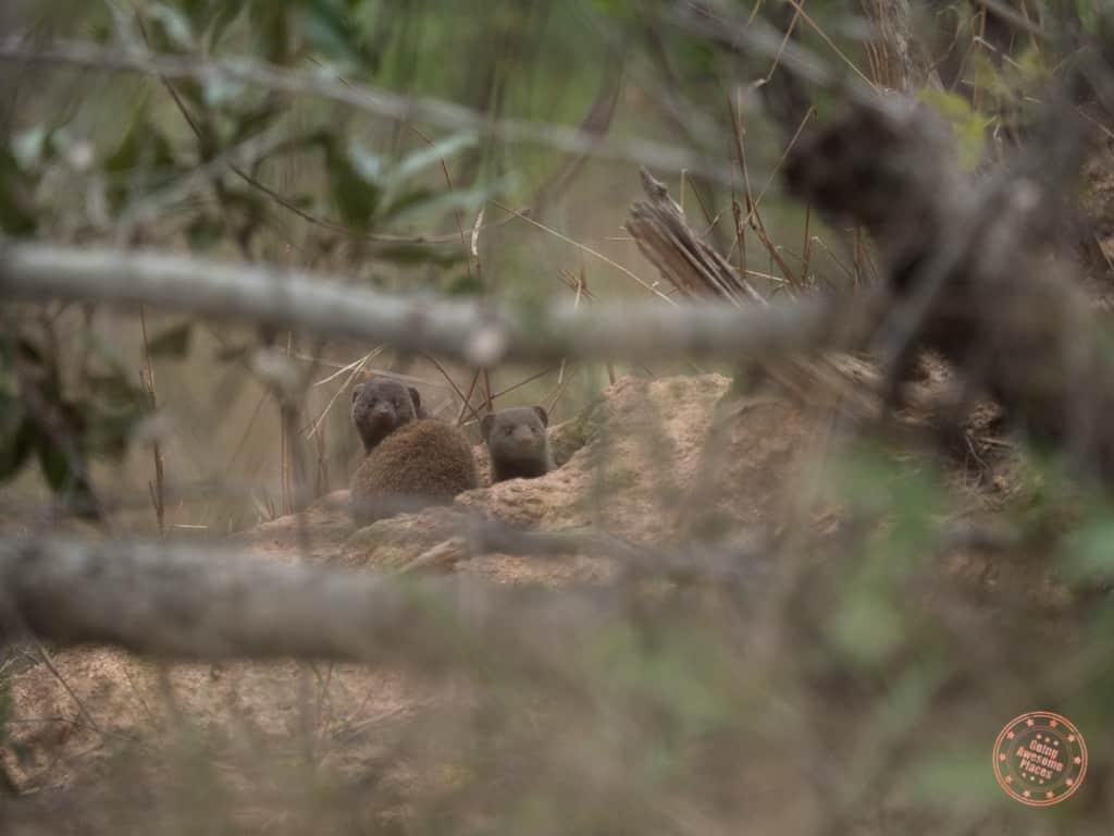 mongoose popping up during bushwalk