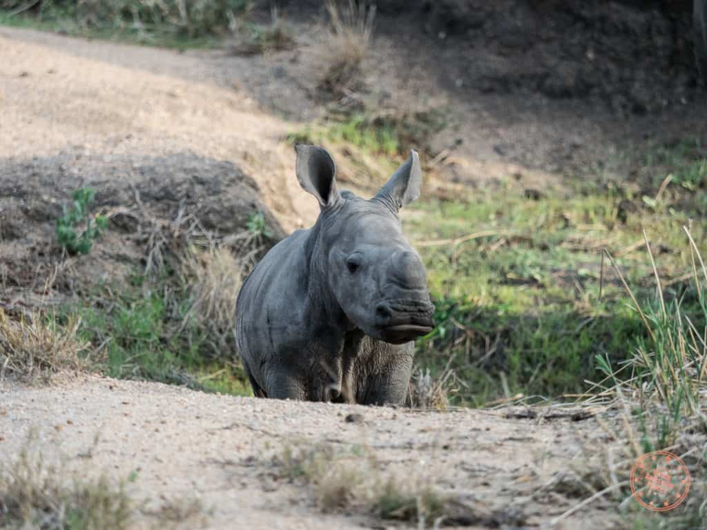 baby rhino from elephant plains in sabi sands private reserve south africa next to kruger national park