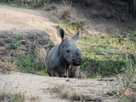 baby rhino from elephant plains in sabi sands private reserve africa