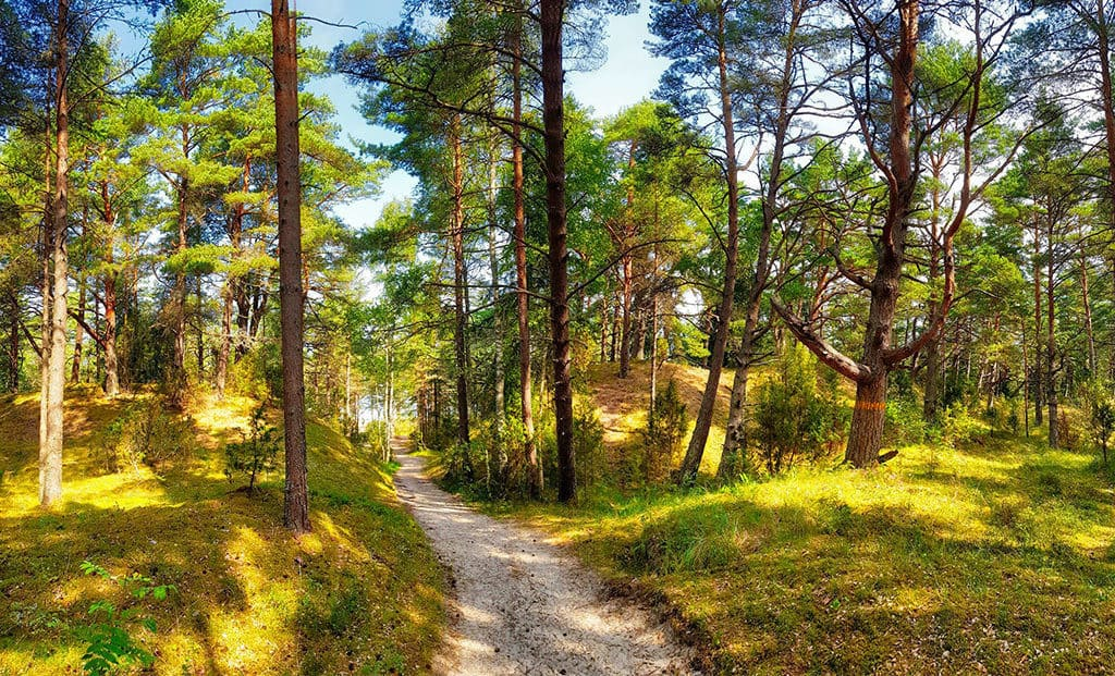 coastal pine forest in latvia