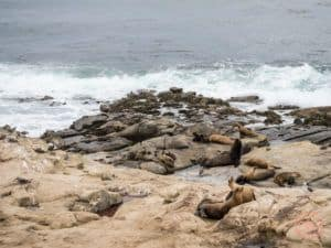 la jolla sea lions colony