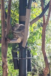 san diego zoo koala sleeping in australia section