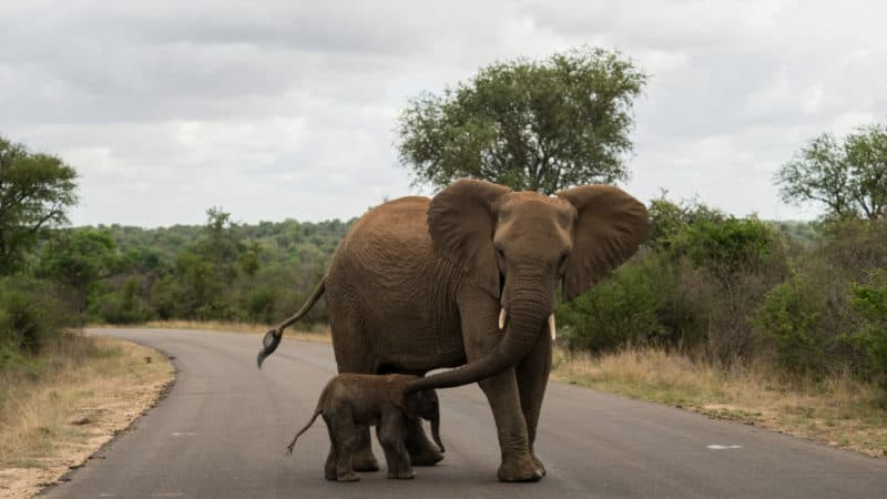 kruger national park elephants in guide on everything you need to know